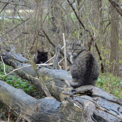 Feral cats sitting on a log