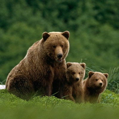 Grizzly bear family in a green field