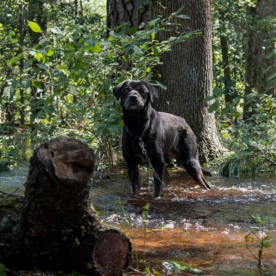 Dog tethered to a tree during Hurricane Florence flooding