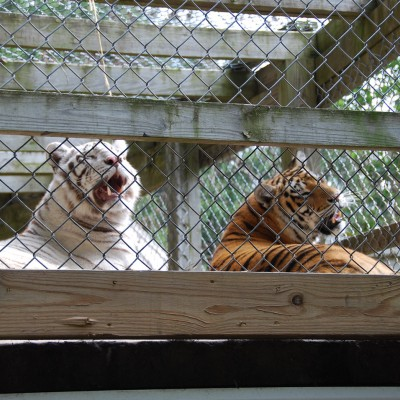 Tigers in a cage at a Maryland roadside zoo