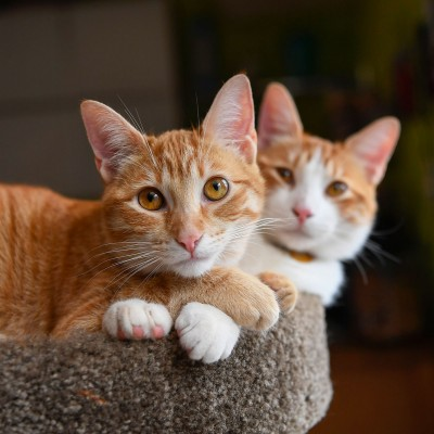Orange cats cuddling together