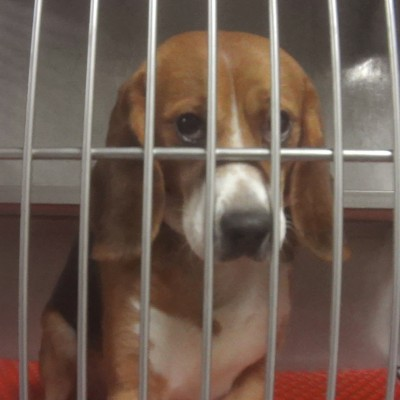 Harvey, a beagle used in the lethal Paredox Therapeutics study, sits In his stainless steel cage.