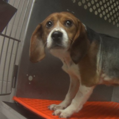 Beagle used for testing in a cage with a shaved torso