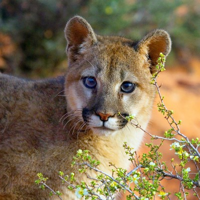 Mountain lion in the wild