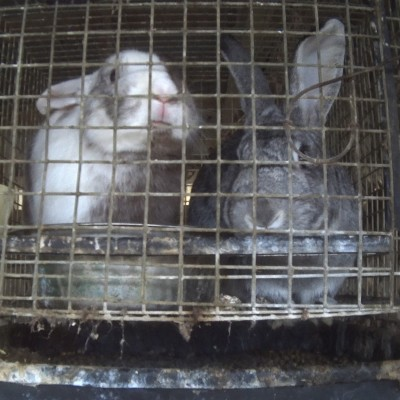 Rabbits in filthy indoor cages