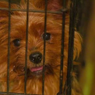 Puppy mill dog panting in cage