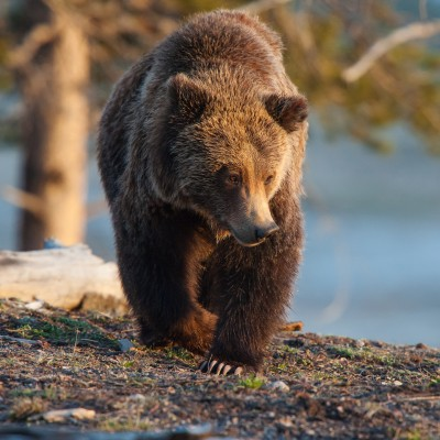 Grizzly Bear foraging in Yellowstone National Park.