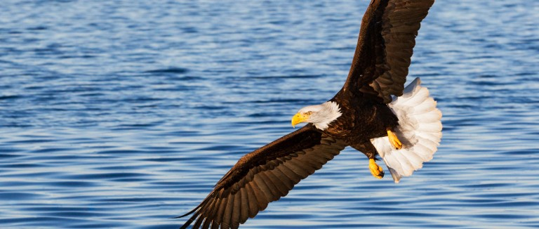 Eagle in flight over a body of water