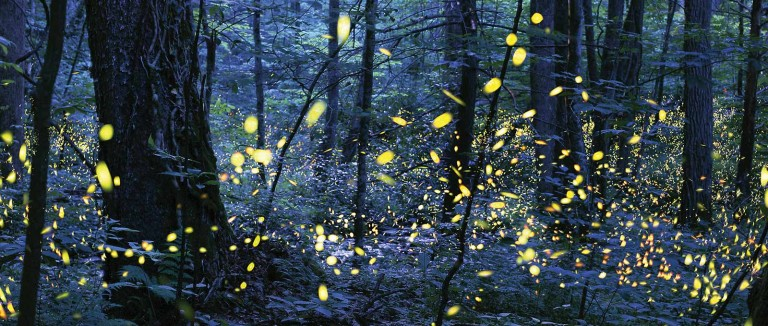 Fire flies in summer in Great Smoky Mountains National Park