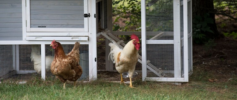Backyard Chickens Near Their Coup.