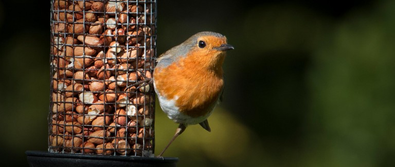 Robin sitting on a bird feeder filled with peanuts