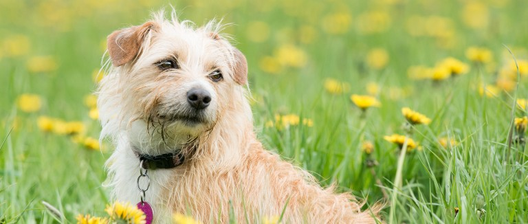 Dog relaxing in a field of yellow flowers