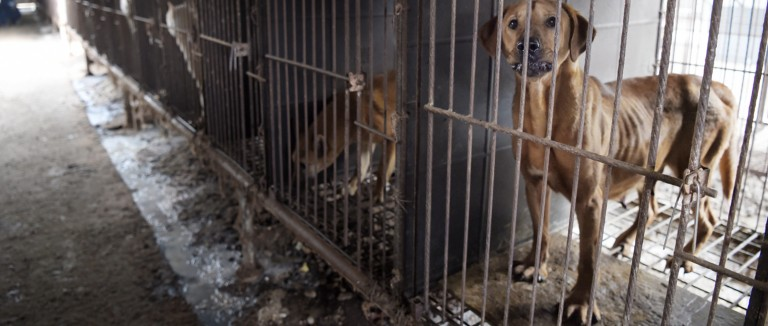 Dog in a cage at a South Korea dog meat farm