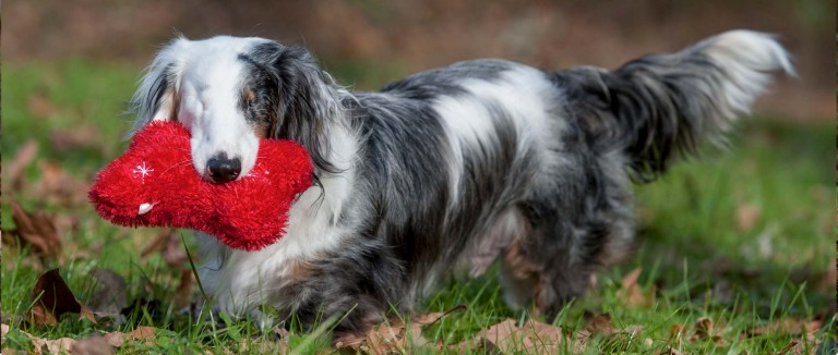 Corey, a blind dog, carries a red toy in his backyard
