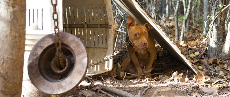 Dog chained to a tree with a heavy weight, awaiting to be rescued from dogfighting