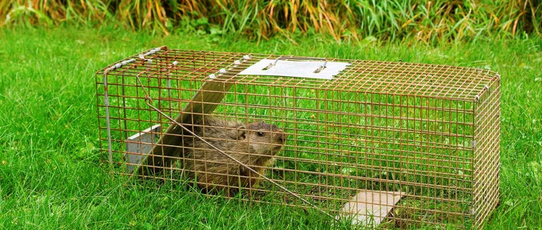 Scrap the trap when evicting wildlife | The Humane Society