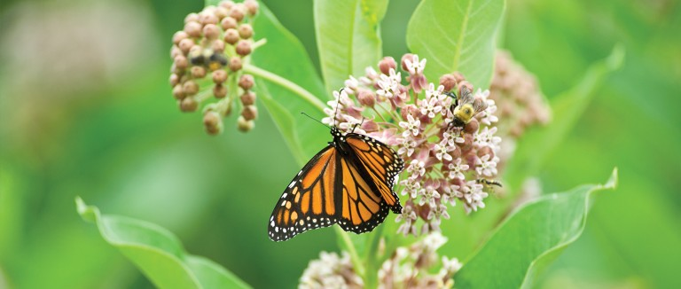 Monarch butterfly in flowers