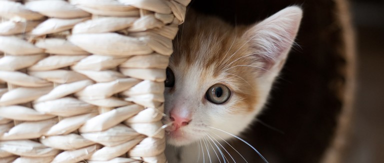 Kitten peaking out of a basket