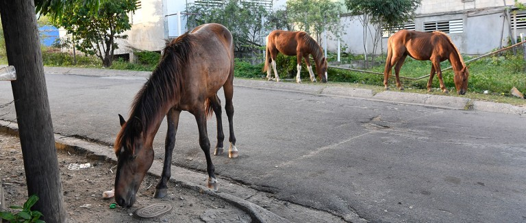 Horses eating in the street