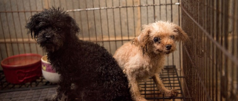 Two puppy mill dogs in a cage before being rescued